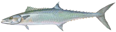 King Mackerel (2)
