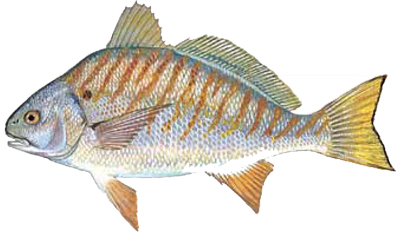 Fish species chart wilmington fishing charters for White fish types